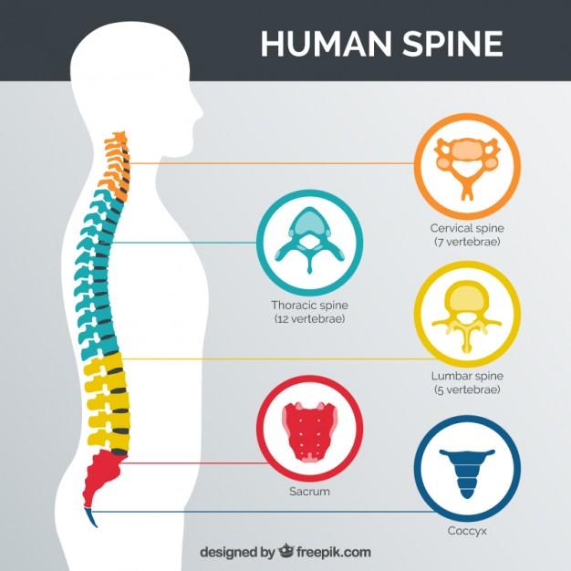 Coluna vertebral dividida por número de vértebras