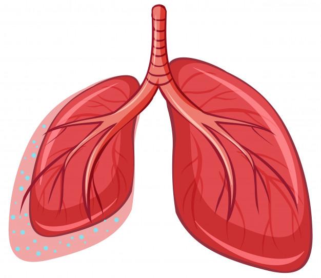 Desenho dos pulmōes