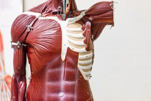Você Conhece Os Principais Músculos Do Corpo Humano Saiba Mais!